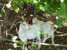 Two goats are hiding in the forest.