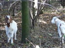 Two goats in the forest, one of them looking at the camera.